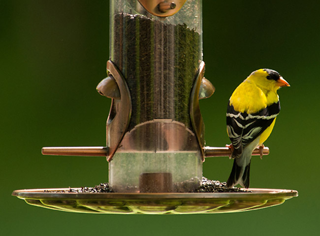 A male American goldfinch visits a backyard feeder. Photo kindly contributed by Todd Smith.