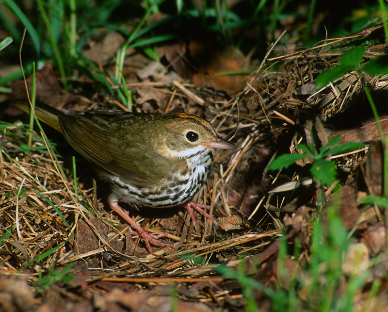Ovenbird by Brian Henry