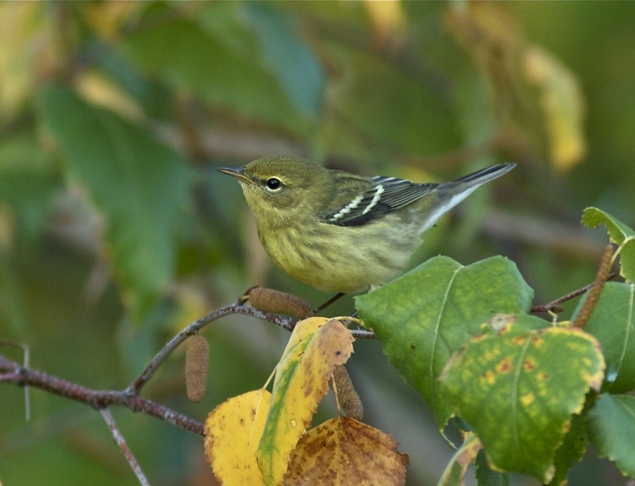 Blackpoll Warbler in Fall Plumage by Bill Thompson, III