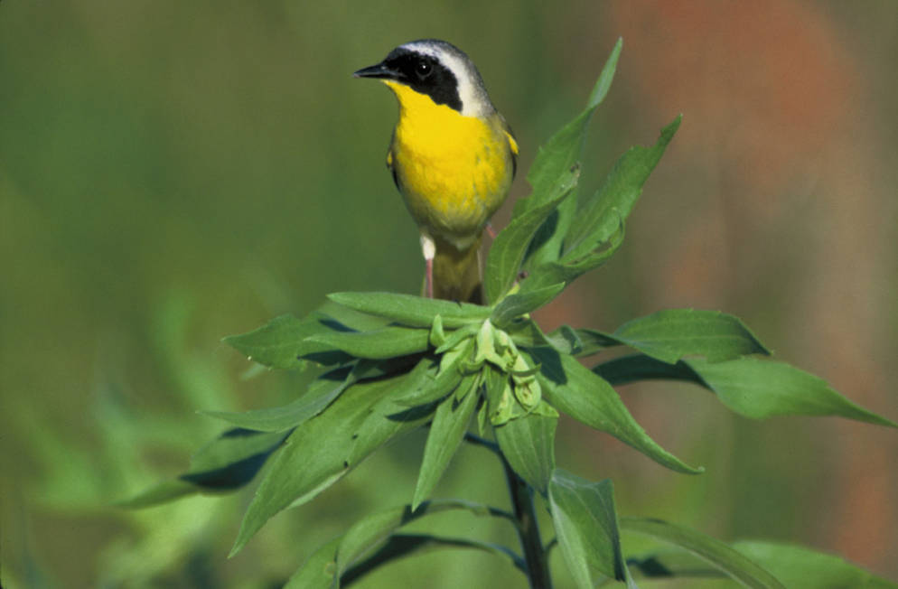 Common Yellowthroat photo by Dave Menke, USFWS