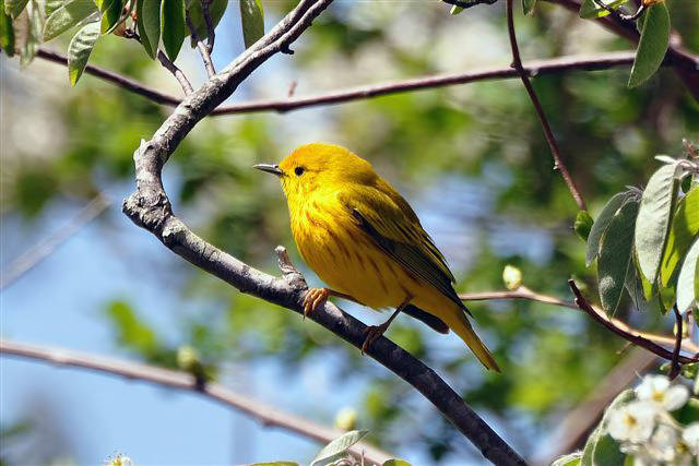 Yellow Warbler by Tom Tetzner, USFWS