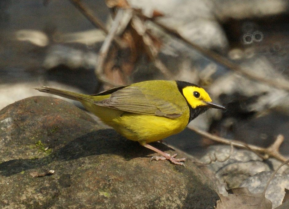 Hooded Warbler by Mike's Birds, Wikimedia