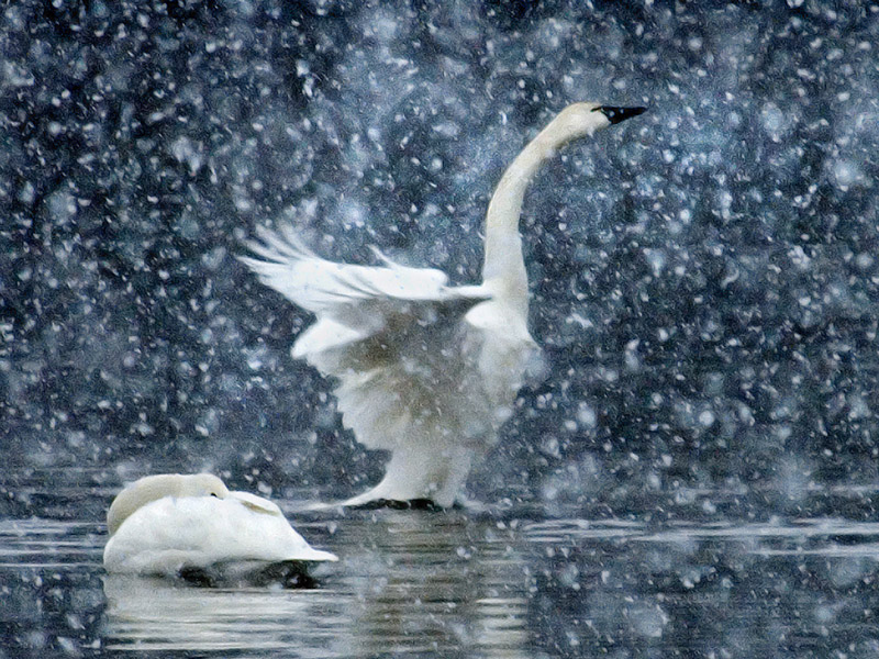 Tundra swans. Photo by Todd Smith.