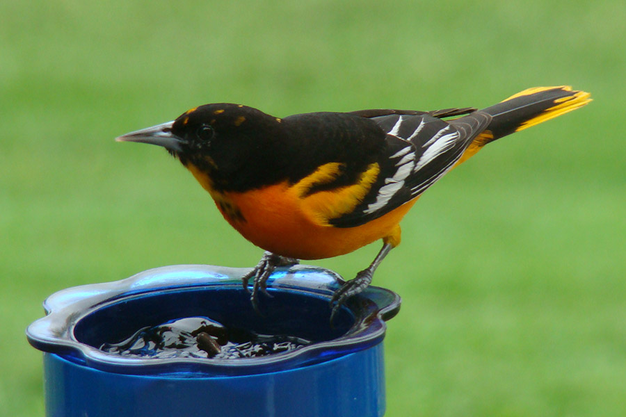 A male Baltimore oriole visits a feeder offering grape jelly. Photo by Tammy Simmons.