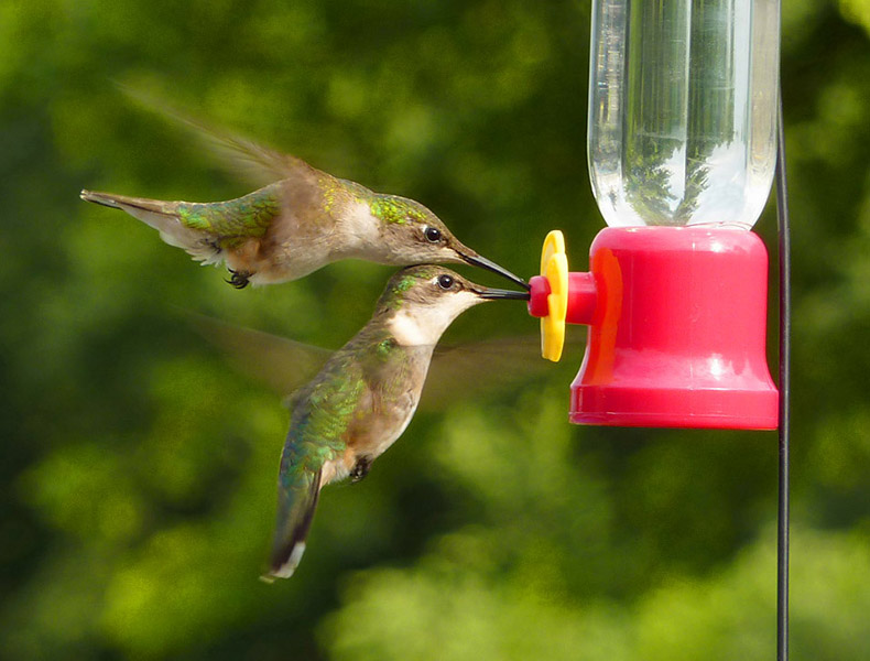 Ruby-throated hummingbirds at feeder. Photo by Sheldon Faworski.