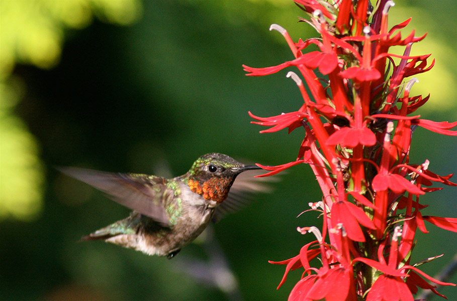 A male ruby-throated hummingbird sips nectar from a cardinal flower (Lobelia cardinalis).