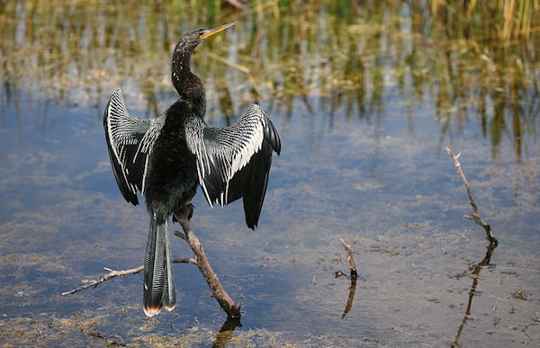 Anhinga (Photo by Daniel Schwen/Wikimedia)