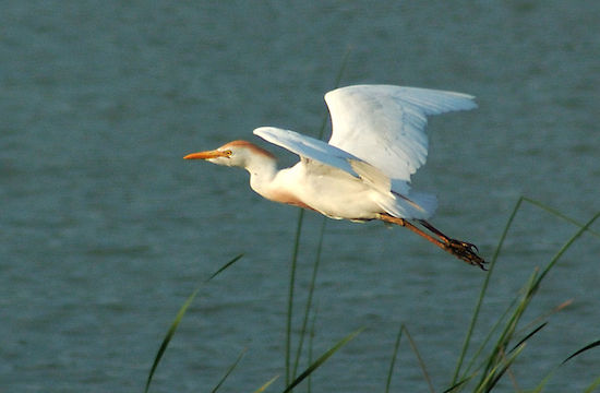 Cattle Egret (Photo by Derek Bakken/Wikimedia)
