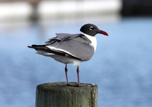 Laughing Gull (Photo by Kyle Carlsen)