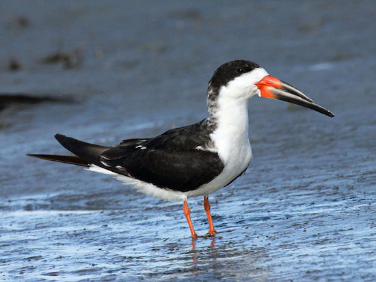 Black Skimmer (Photo by Dick Daniels/Wikimedia)