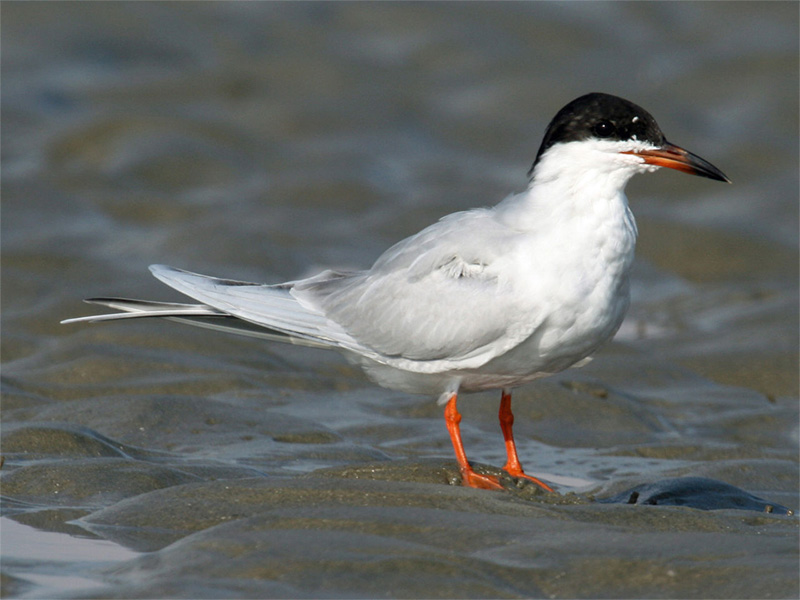 Forster's Tern (Photo: Dick Daniels/Wikimedia)
