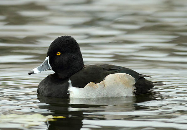 Ring-necked duck photo by Alan Vernon / Wikimedia Creative Commons