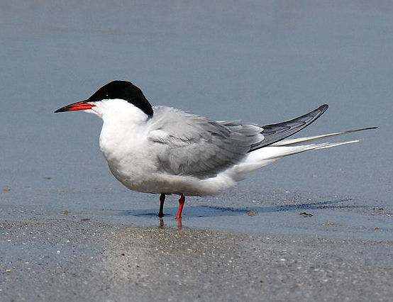 Common Tern (Photo: Wikimedia Creative Commons)
