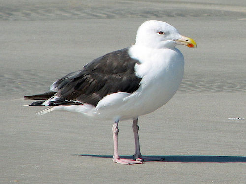 Great Black-backed Gull (Photo by Dick Daniels/Wikimedia)