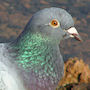 Bird Identification Guide: Pigeons & Doves
