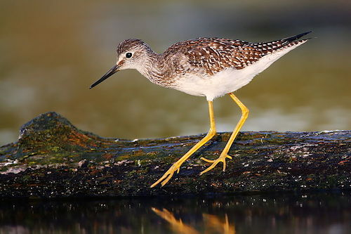 Lesser Yellowlegs (Photo: Wikimedia Creative Commons)