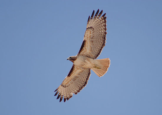 Red-tailed Hawk (Photo by Alan Vernon/Wikimedia)