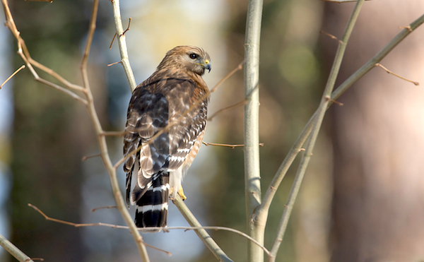 Red-shouldered Hawk (Photo by Majoros/Wikimedia)