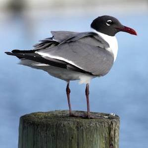 Bird Identification Guide: Gulls, Terns & Skimmers