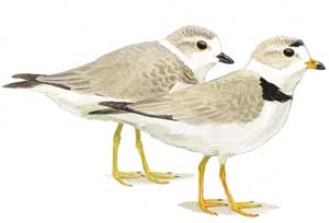 Piping Plovers (Illustration by Julie Zickefoose)