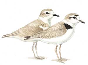 Snowy Plovers (Illustration by Julie Zickefoose)