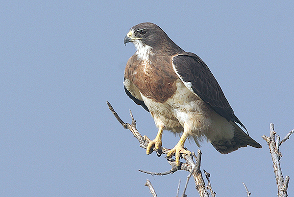 Swainson's Hawk (Photo: USFWS)