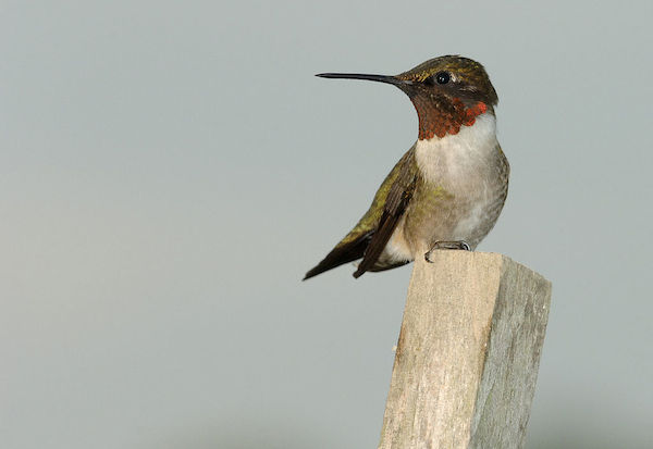 Ruby-throated hummingbird guarding his territory from the top of a tomato stake. (Photo: Joe Schneid/Creative Commons)