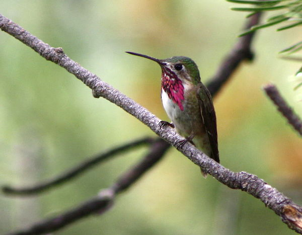 Calliope Hummingbird (Photo: Kati Fleming/Wikimedia)