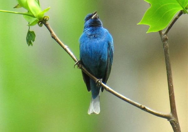 A male indigo bunting sings from its perch. Photo by Bill Thompson, III