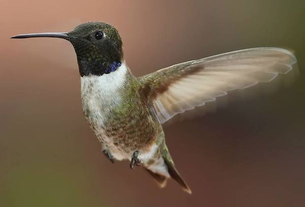 Black-chinned Hummingbird (Photo: Creative Commons)