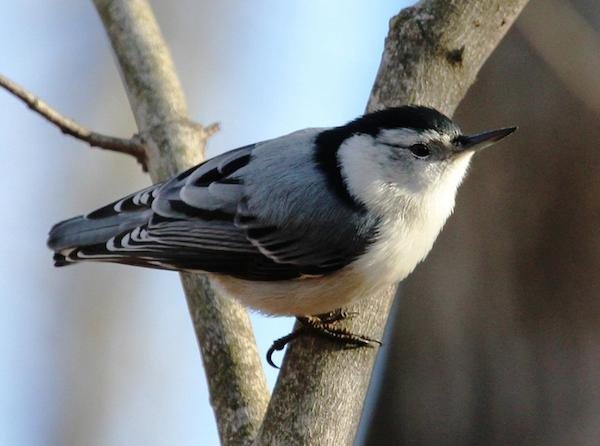 White-breasted Nuthatch (Photo: Kyle Carlsen)