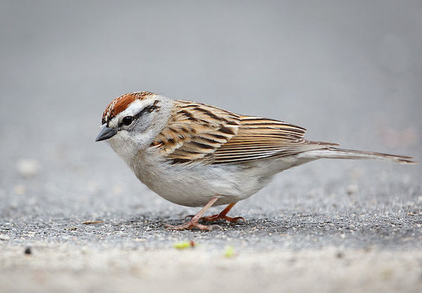 Chipping Sparrow (Photo: Creative Commons)
