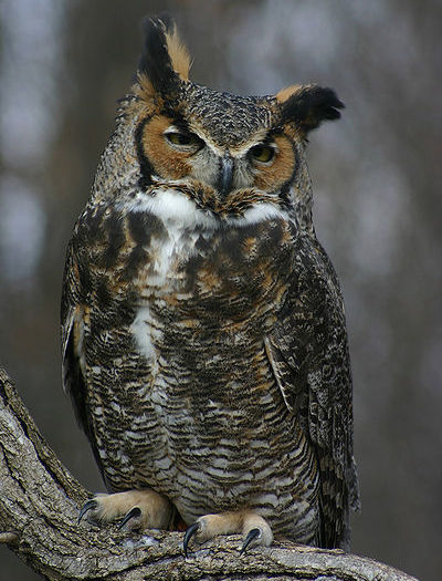 Great Horned Owl (Photo: Creative Commons)