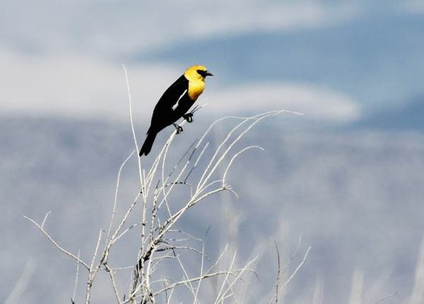 Yellow-headed Blackbird (Photo: Kyle Carlsen)
