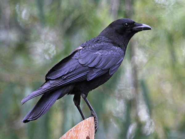 American Crow (Photo: Dick Daniels/Creative Commons)
