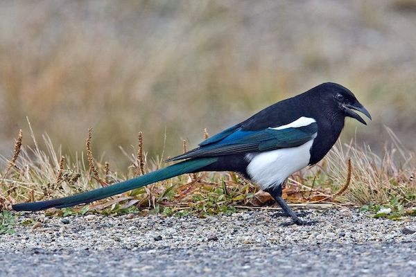 Black-billed Magpie (Photo: Alan D. Wilson / Wikimedia)