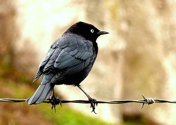 Brewer's Blackbird (Photo: Linda Tanner / Creative Commons)