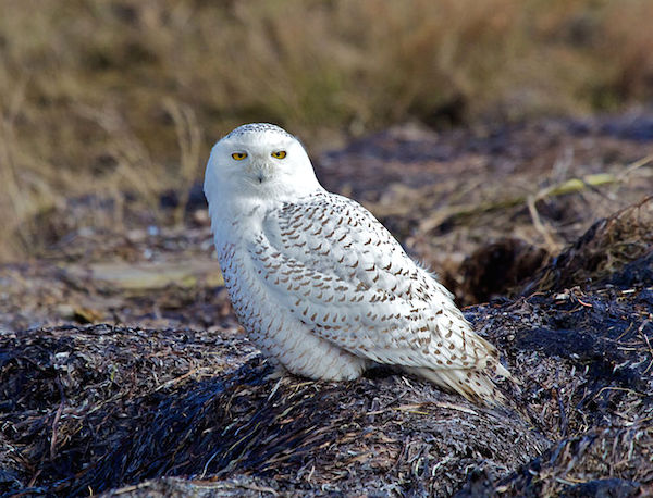 During late December 2013, an immature snowy owl was reported at Little Talbot Island State Park on the Atlantic coast, just north of Jacksonville, Florida. (Photo: David Syzdek/Wikimedia)