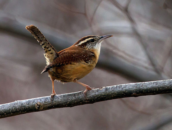 Carolina Wren (Photo: Creative Commons)