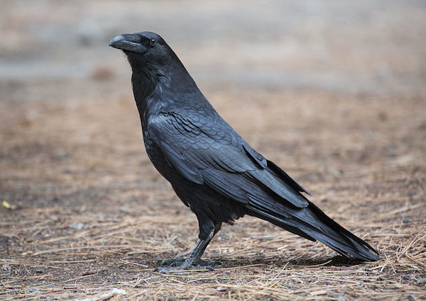 Common Raven (Photo: DAVID ILIFF. License: CC-BY-SA 3.0)