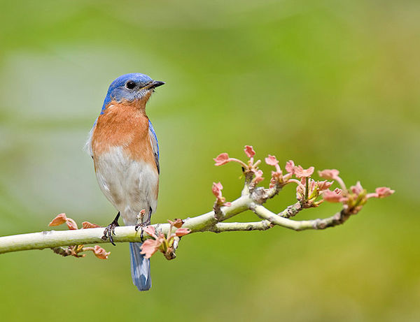 Eastern Bluebird (Photo: William H. Majoros / Creative Commons)