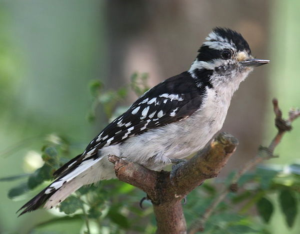Downy Woodpecker, female (Photo: Emmett Hume/Creative Commons)