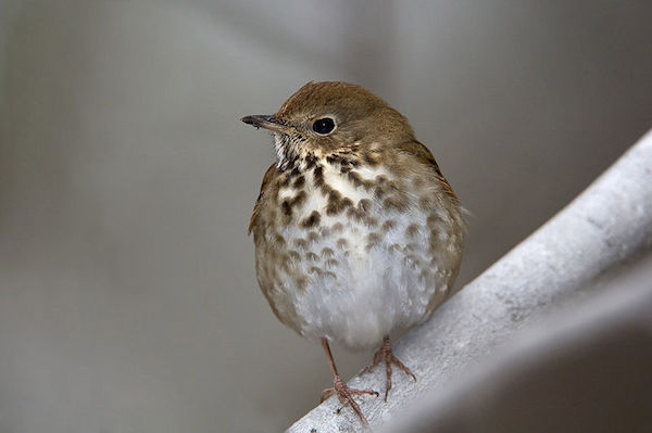Hermit Thrush (Photo: William H. Majoros/Creative Commons)