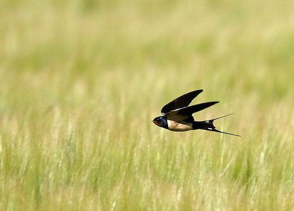 Barn Swallow (Photo: Creative Commons)
