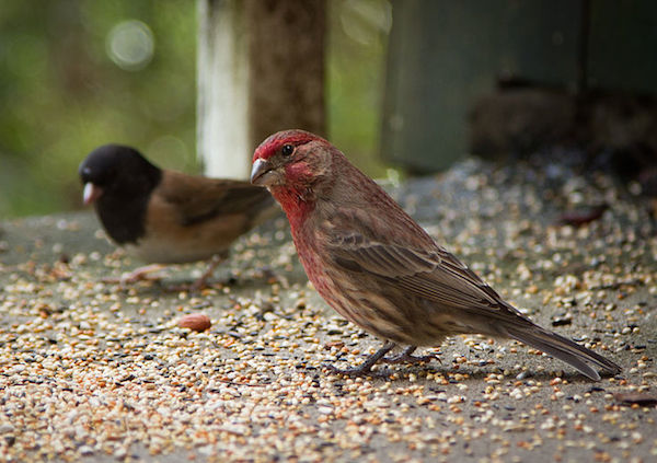 House Finch (Dark-eyed Junco in background)  Photo by Frank Schulenburg/Creative Commons