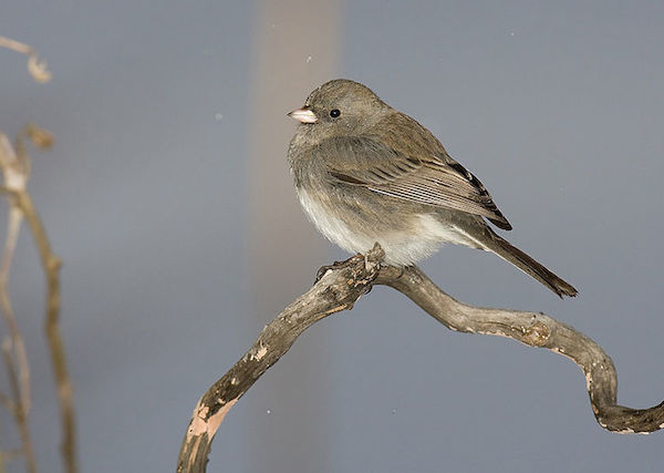 Dark-eyed Junco (Photo: William Majoros/Creative Commons)