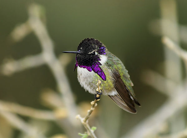 Costa's Hummingbird (Photo: Alan Vernon/Wikimedia Commons)