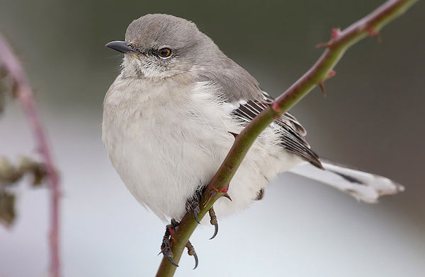 Northern Mockingbird (Photo: Creative Commons)