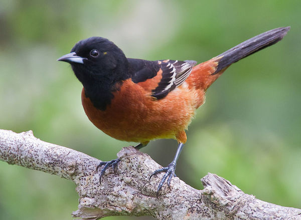 Orchard Oriole (Photo: Dan Pancamo/Creative Commons)