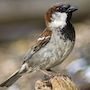 Bird Identification Guide: Sparrows & Allies